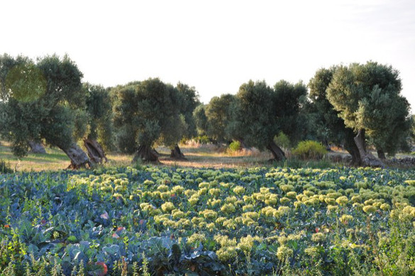 champs d'olivia les pouilles