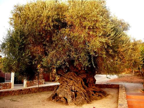 le plus vieil olivier du monde crète
