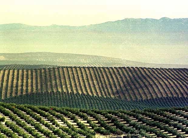 champs d'oliviers jaen