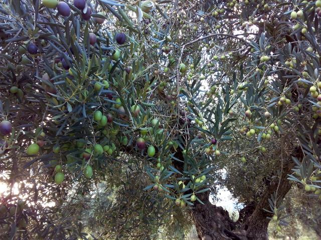 oliviers deux variétés olives