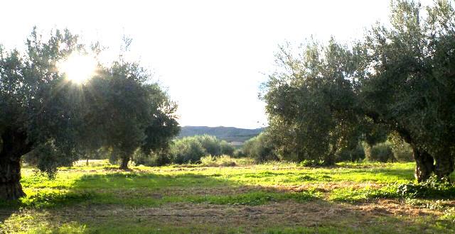 12 mois dans une oliveraie