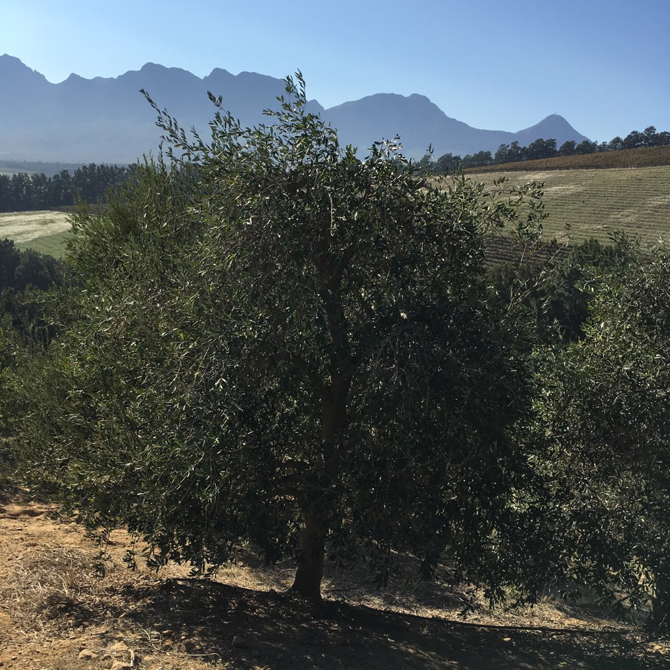 """l'huile d'olive nouvelle """"Olio Nuevo"""" d'Afrique du sud"""