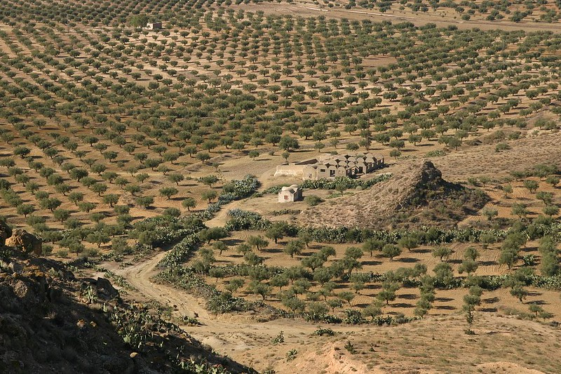 oliveraie tunisie